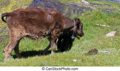 Cow and sheep eat