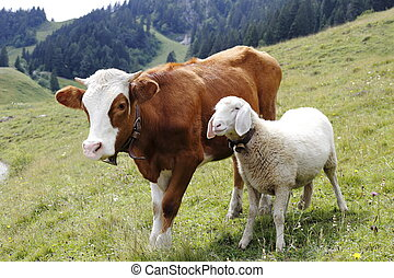 cow and sheep - a cow and a sheep are standing on a field
