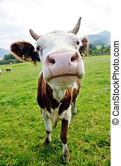 cow animal on field
