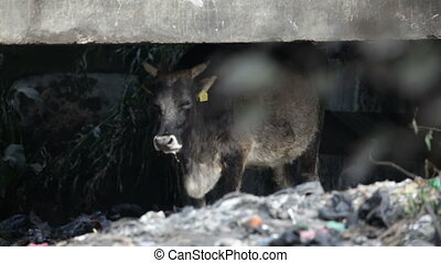 Cow. Asia.