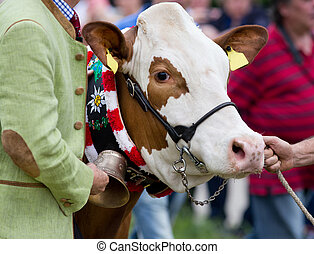 Cow at exhibition