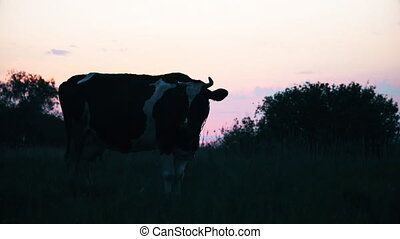 Cow at sunset on the field, livestock