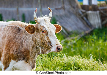Cow at the meadow