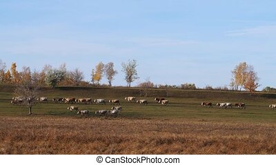 Cow band moving over country land at fall