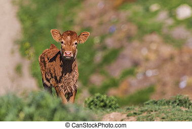 Cow calf posing in front of the camera