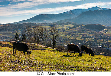 cow cattle grazing on a hillside. beautiful countryside...