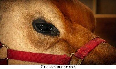 Cow Chewing In Barn Closeup