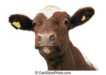 Cow - Close up of cow, isolated on white