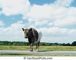 Cow crossing road