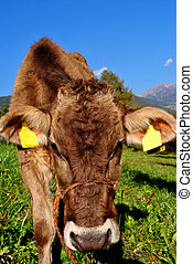 cow - tirolese cow resting on green grass