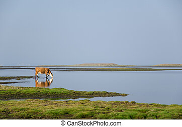 Cow drinking water - A cow is drinking water by an idyllic...