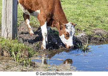 Cow drinking water on the bank of the stream a rustic country scene, reflection in the water