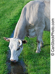 cow drinks water from a brook