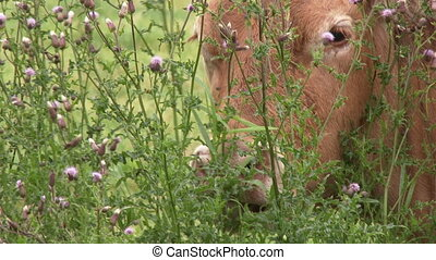 Cow eating from thistle, 4K - Cow eating from thistle with...
