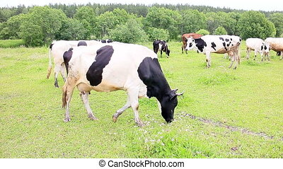 Cow eating grass on a background of the herd