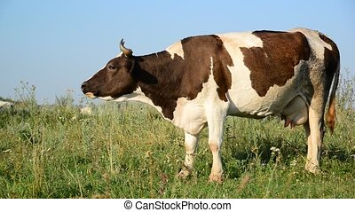 Cow eating grass on glade