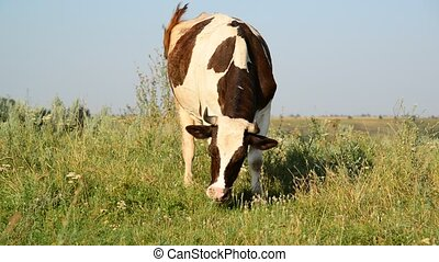 Cow eating grass on glade - Cow eating grass on the glade
