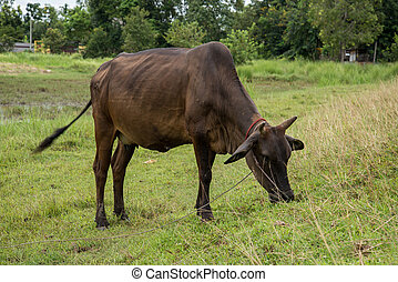 Cow eating grass in rural areas. Thai cow, Thailand.