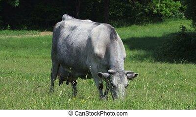 Cow eating grass.Mammals