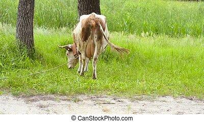 Cow eats a grass.