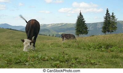 Cow eats grass in mountains
