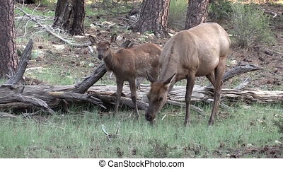Cow Elk and Calf - a cow elk with her cute young calf