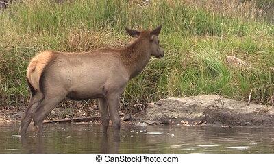 Cow Elk Drinking - a cow elk drinking in a mountain lake