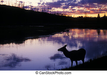 Cow elk silhouette at dusk