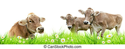 Cow family - Alpine cows in meadow, isolated on white...