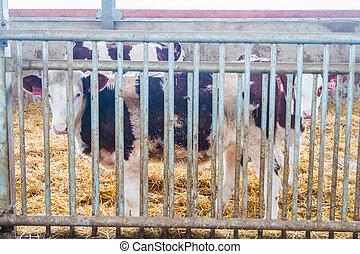 Cow farm producing