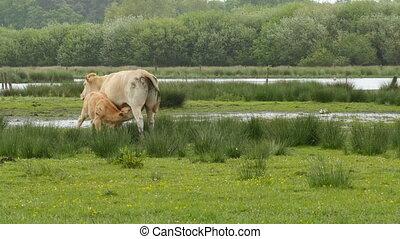 cow feeding her calf in marshland medium shot