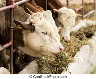 Cow feeding - Cows eating lucerne hay from manger on farm