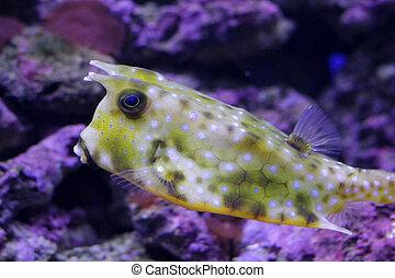 cow fish in aquarium