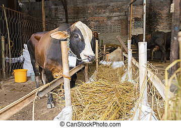 Cow for slaughter to celebrate Eid Adha