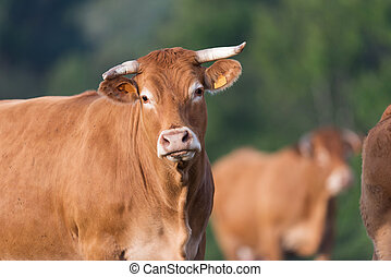 Cow from French Limousin