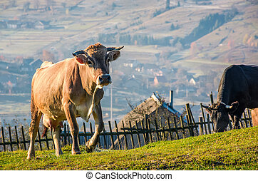 cow go uphill near the fence on hillside. lovely rural...