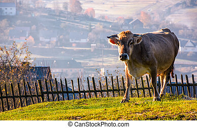 cow go uphill near the fence on hillside. lovely rural...