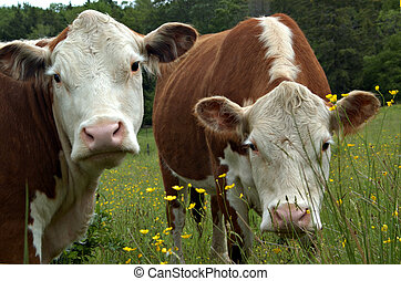 Cow gossip III - Two cows, look in disbelief at being caught...