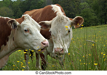 Cow gossip - Two cows appear to be whispering secrets in...