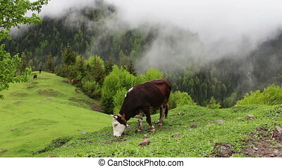 Cow grazes on a picturesque mountain landscape in the fog...