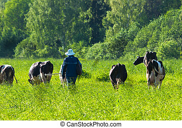 cow grazes on green meadow