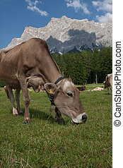 Cow grazing at the foot of a mountain