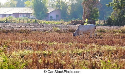 cow grazing grass in paddy field - Video cows standing...