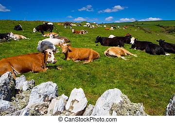 Cow grazing in a Devon field