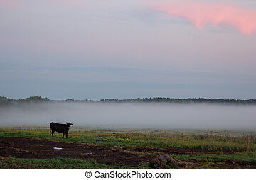 cow grazing in a field in mist at sunset - cow grazing in a...