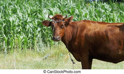 Cow Grazing in a Meadow near the Village - Cow grazing in a...