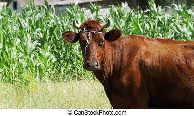 Cow Grazing in a Meadow near the Village