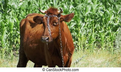 Cow Grazing in a Meadow near the Village. Slow Motion - Cow...