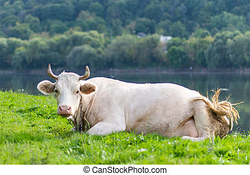 cow grazing in a meadow