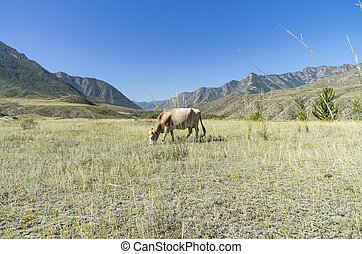 Cow grazing in a mountain meadow. Altai, Russia.